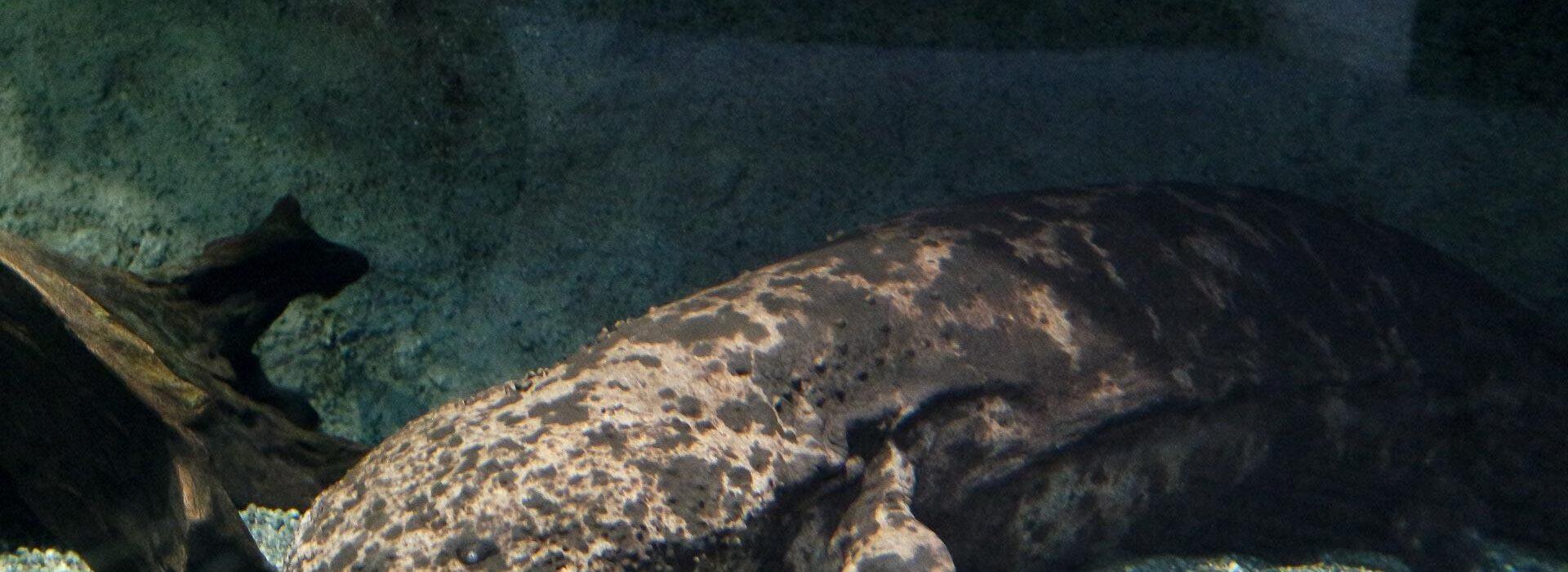 Salamandre aquarium Umi Tamago, préfecture d'Oita