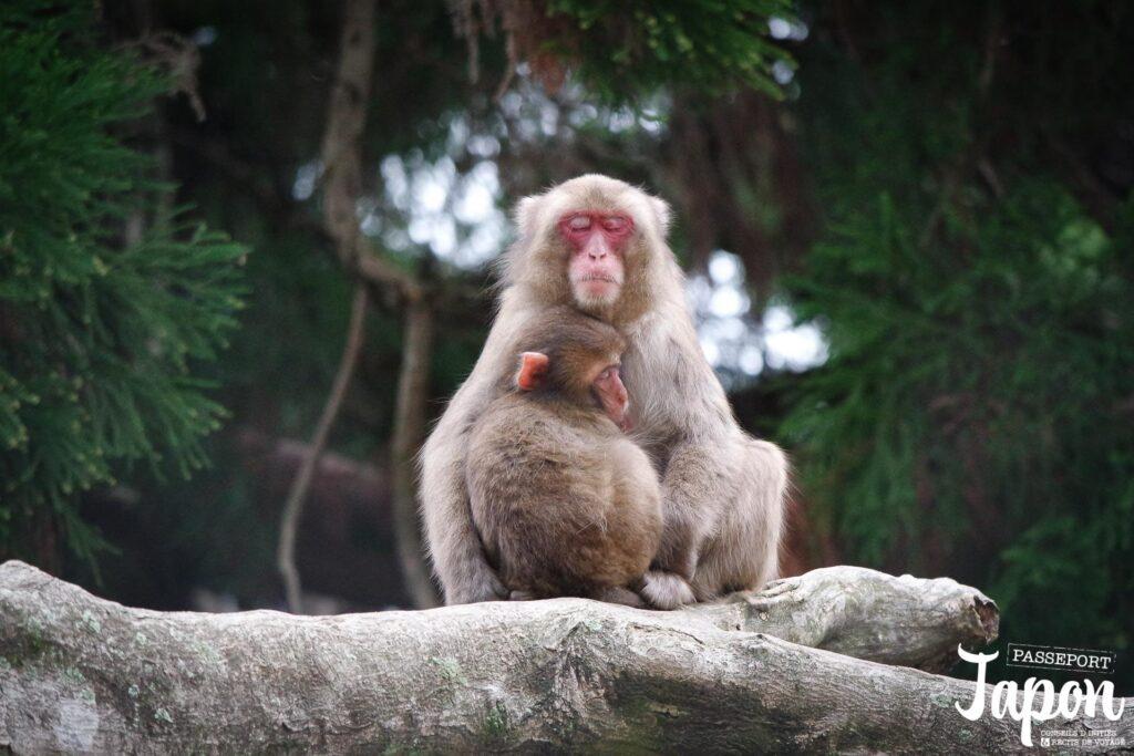 Singes parc Takasakiyama, préfecture d'Oita