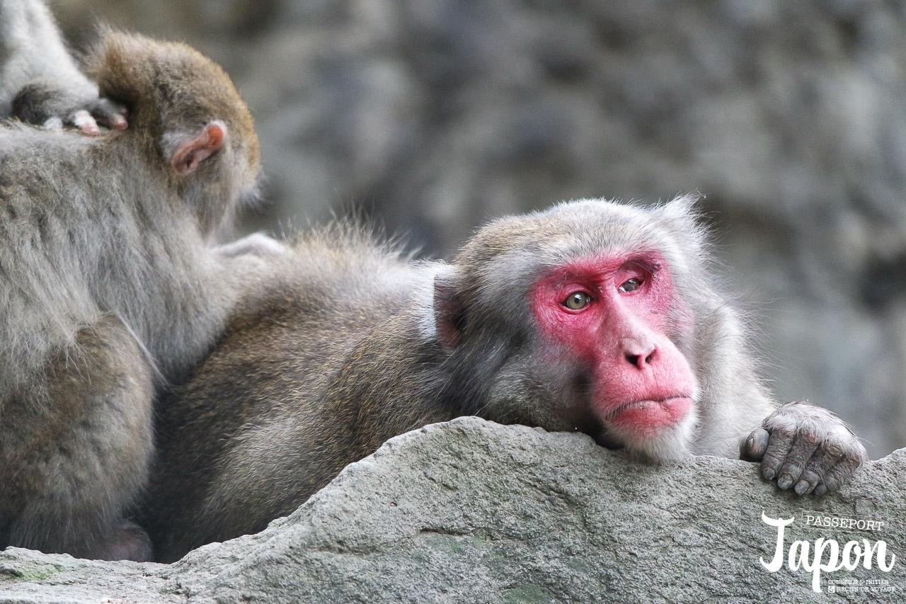 oita-parc-takasakiyama-singe-adulte