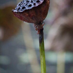 Fruit du lotus sur le plan d'eau du sanctuaire Usa jingu, Usa, préfecture d'Oita