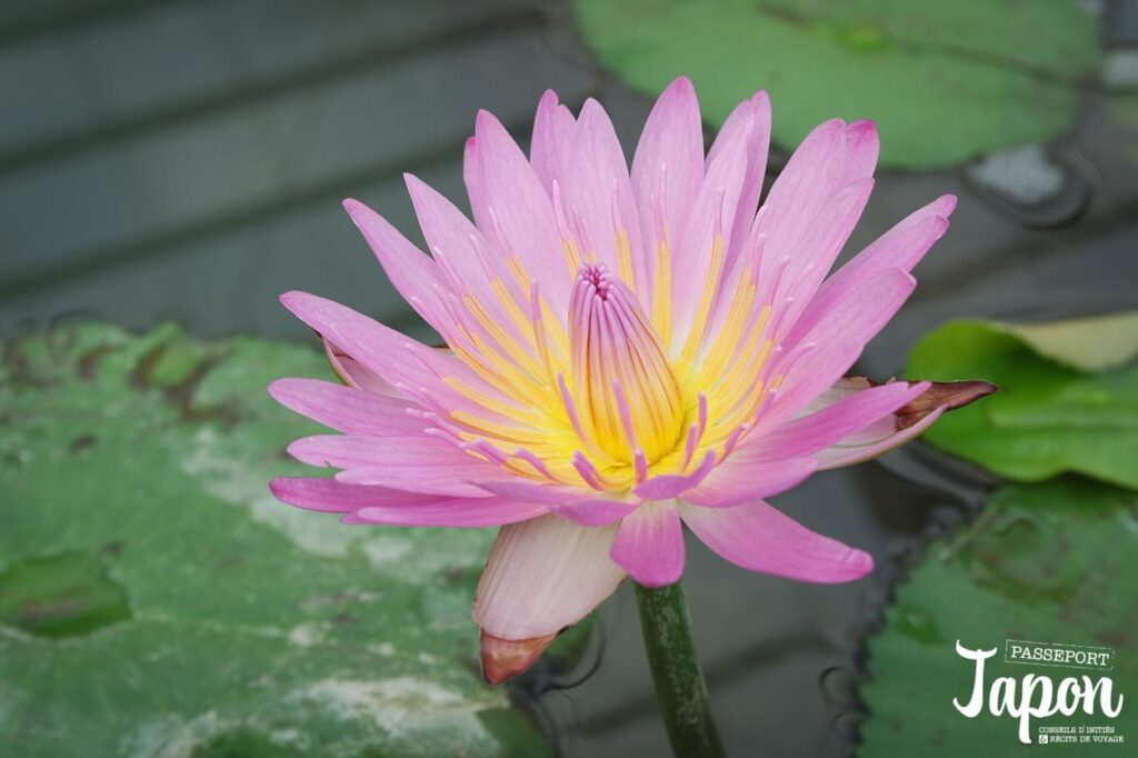 Fleur de lotus, Enfer d'Umi jigoku, Beppu, préfecture d'Oita