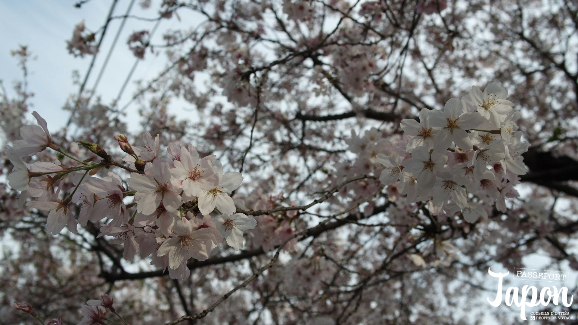 fleur-sakura-japon-branches