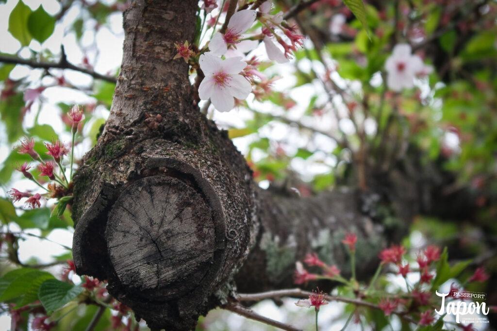 Sakura sur le chemin de la philosophie